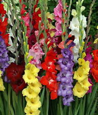 30 Gladiolus Mix Color Flower Bulb Perennial Summer Blooming Plant