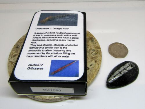Real fossil orthoceras in gift box /& information card for dinosaur /& nature fans