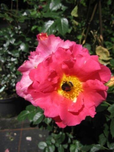 Kordes-Rose Rosa Bajazzo® orange-rosa Kletterrose Bajazzo® ADR-Rose