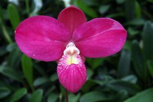 the best attitude f64fe 57597 Details about Phragmipedium Fritz Schomburg, kovachii x besseae,  Frauenschuh, Orchidee