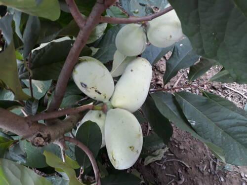 Pianta di Asimina triloba Primia 1216 banano di montagna