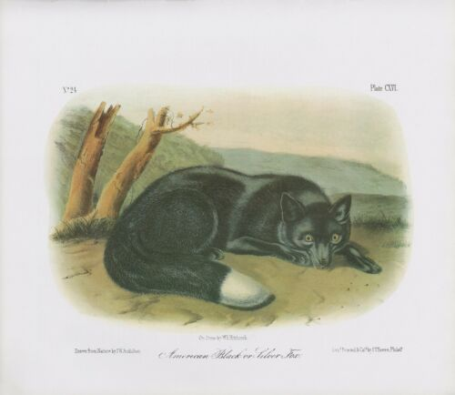 "1989 Vintage /""AMERICAN BLACK OR SILVER FOX/"" AUDUBON MAMMAL COLOR Art Lithograph"