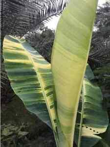BANANA Musa Acuminata Atia variegated 10 seeds Exotic +  PHYTO Certificate