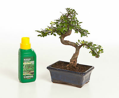 Bonsai Tree Chinese Elm Indoor / Outdoor + FREE FERTILISER