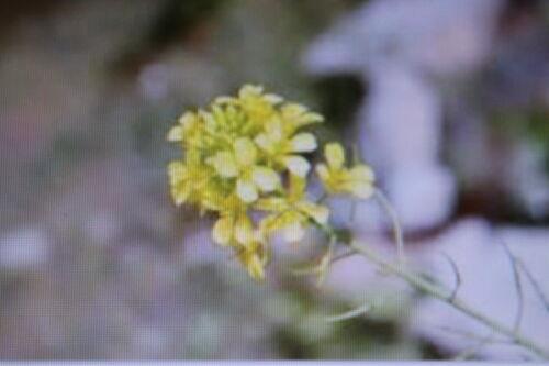 10 Samen Wasabino,Brassica juncea,Wasabi,#381