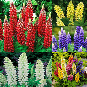 Seeds-Lupin-Red-White-Blue-Yellow-Mix-Giant-Flower-Outdoor-Garden-Cut-Organic
