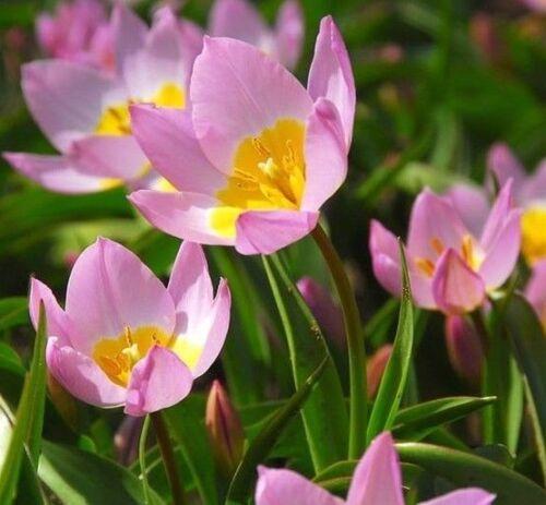 Saxatalis espèces tulipe x 10 ampoules Jolie Lilas Jaune Fleurs printanières