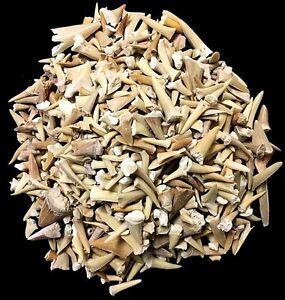 One Pound of Genuine Shark Teeth - Fossilized Moroccan Teeth! - Wholesale Bulk
