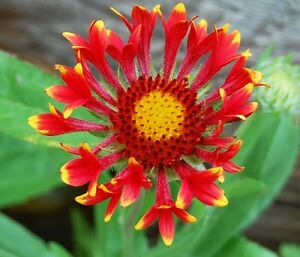 Gaillardia Commotion Seeds Tizzy Blanket Flower Perennial