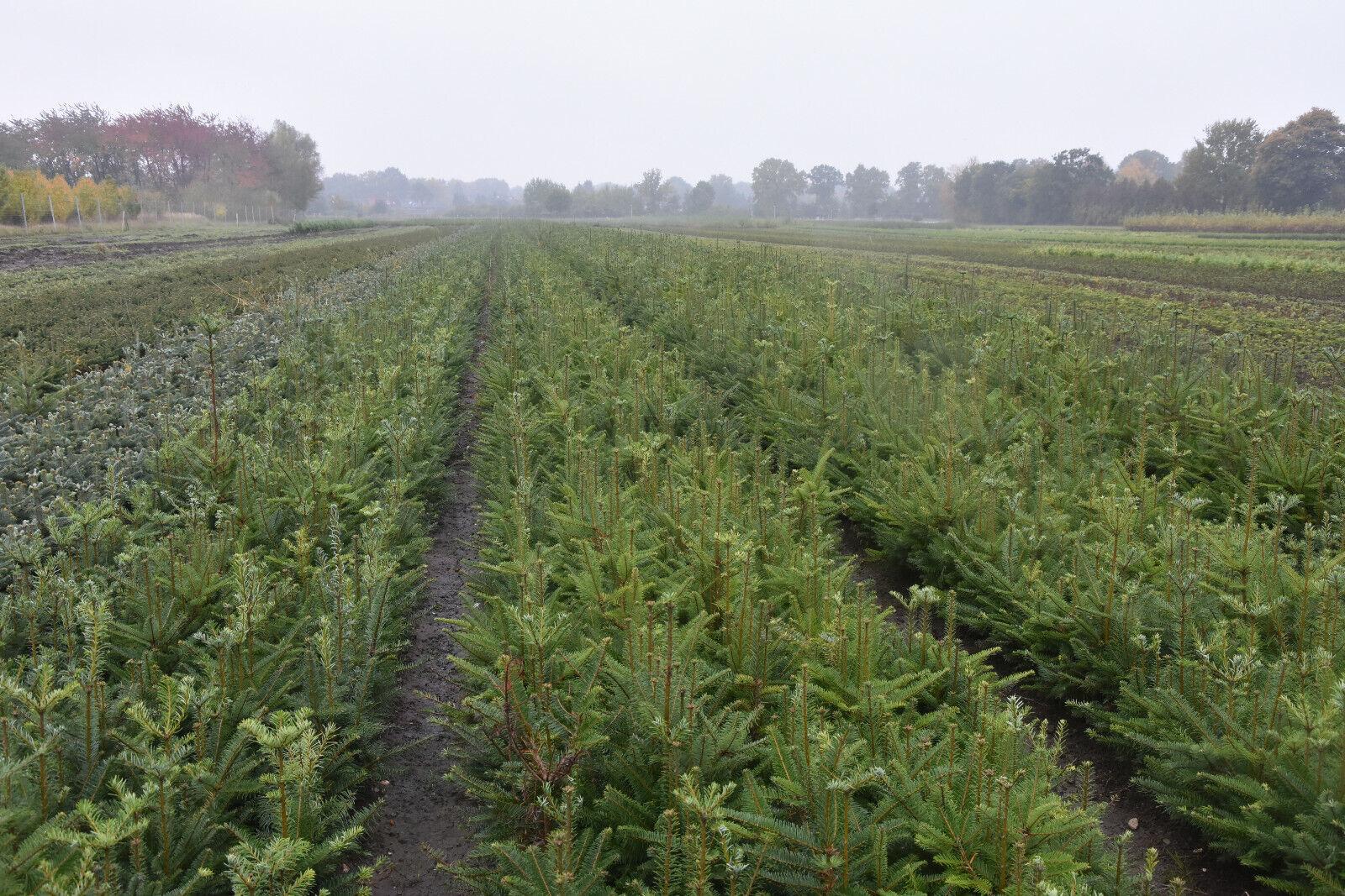 Omorika Fichte Picea omorika 100st. 30-60cm Forstpflanzen Nadelgehölze