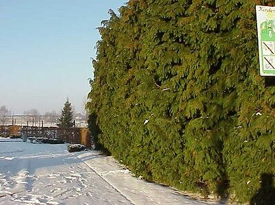 QUICK GROWING HEDDGE-CHAMAECYPARIS LAWSONIA 50 SEEDS