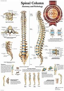 image is loading new-anatomical-spinal-column-diagram-chart-spine-anatomy-