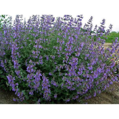 "Nepeta racemosa /""six hill giant/"" 100 graines"