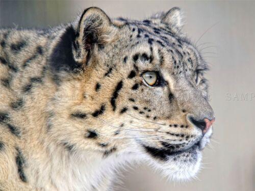 SNOW LEOPARD FACE CLOSE UP BIG CAT PHOTO ART PRINT POSTER PICTURE BMP219A