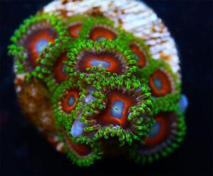 Watermelon Zoanthids Live Coral  WYSIWYG