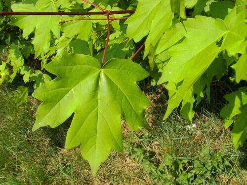 Acer Campestre Field Maple Available it 1 20 seeds per pack and 10 packs 2 5