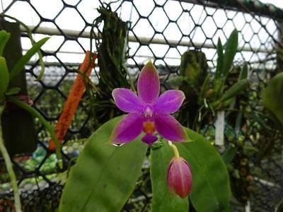 Rare orchid species seedling 1x Cattleya violacea /'flamea/'