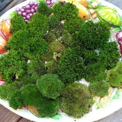 Kentucky Moss For Terrariums Moss Gardens Bonsai Fairy Gardens 250 Grams Ebay