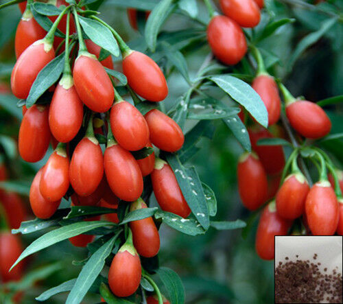 Lycium Chinense 400 Seeds Goji Berry Wolfberry For Sale Online