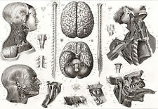 Brain and Nerves -1850s - Medical - Anatomy A3 Art Poster Print