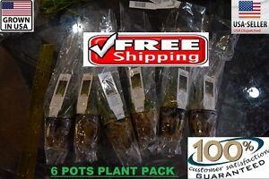 6 Pots Dwarf HairGrass plants Easy Aquarium aquascaping planted tank low light