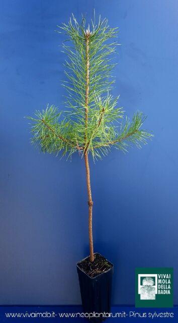 Pinus Sylvestris Vq 9x9x20 1 Plante 1 Plante Pin Sylvestre Scots Pine