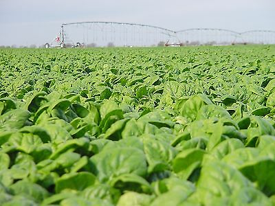 VEGETABLE  SPINACH MEDANIA  1000 FINEST SEEDS
