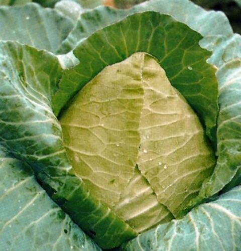 50 semi-Confezione risparmio ORGANIC-verdure-cavolo concentrato di bue