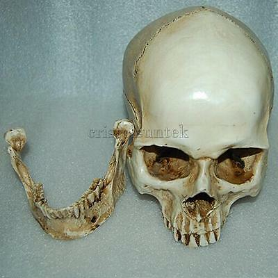 Lifelike Human Skull Resin Human Head Anatomical Medical Teaching Skeleton