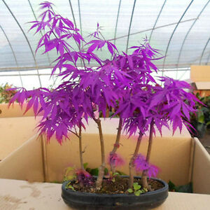 New-30pcs-Home-Garden-Plants-Seeds-034-purple-maple-ghost-034-Bonsai-Seed-Hot-Sale