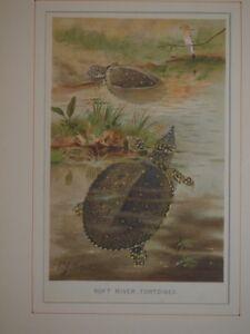 Tartaruga Dal Guscio Molle.Tartarughe Dal Guscio Molle Soft River Tortoises Turtles