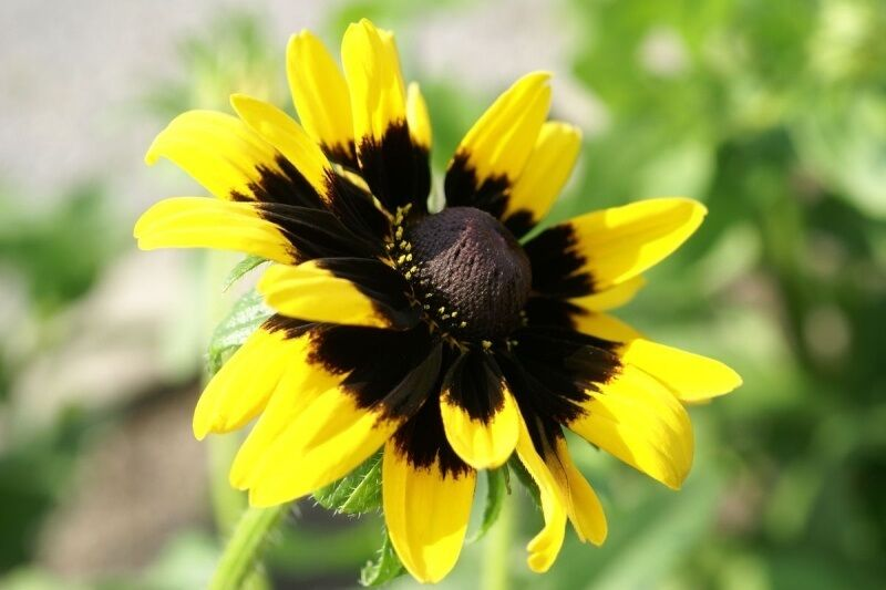 30+ Solar Eclipse Rudbeckia Flowers Seeds / Reseeding