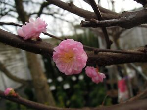 Prunus triloba, Mandelbaum 200cm, 120cm Stamm, Mandelbäumchen