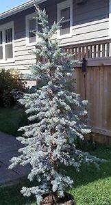 Details About 30 Blue Atlas Cedar Tree Seeds Fragrant Evergreens Christmas Trees