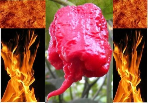 World Record Wholesale 1000 Carolina Reaper Seeds HP22B Hottest pepper on Earth