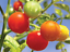 Tomato-Gardeners-Delight-Long-Trusses-with-Clusters-of-6-12-Tomatoes-15-Seeds