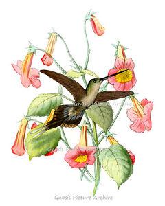 image is loading vintage hummingbird print no 11 unframed bird art