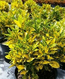 Gold-Dust-Croton-Gold-Star-Golden-Star-Live-Plant-Rooted-Outdoor-Indoor