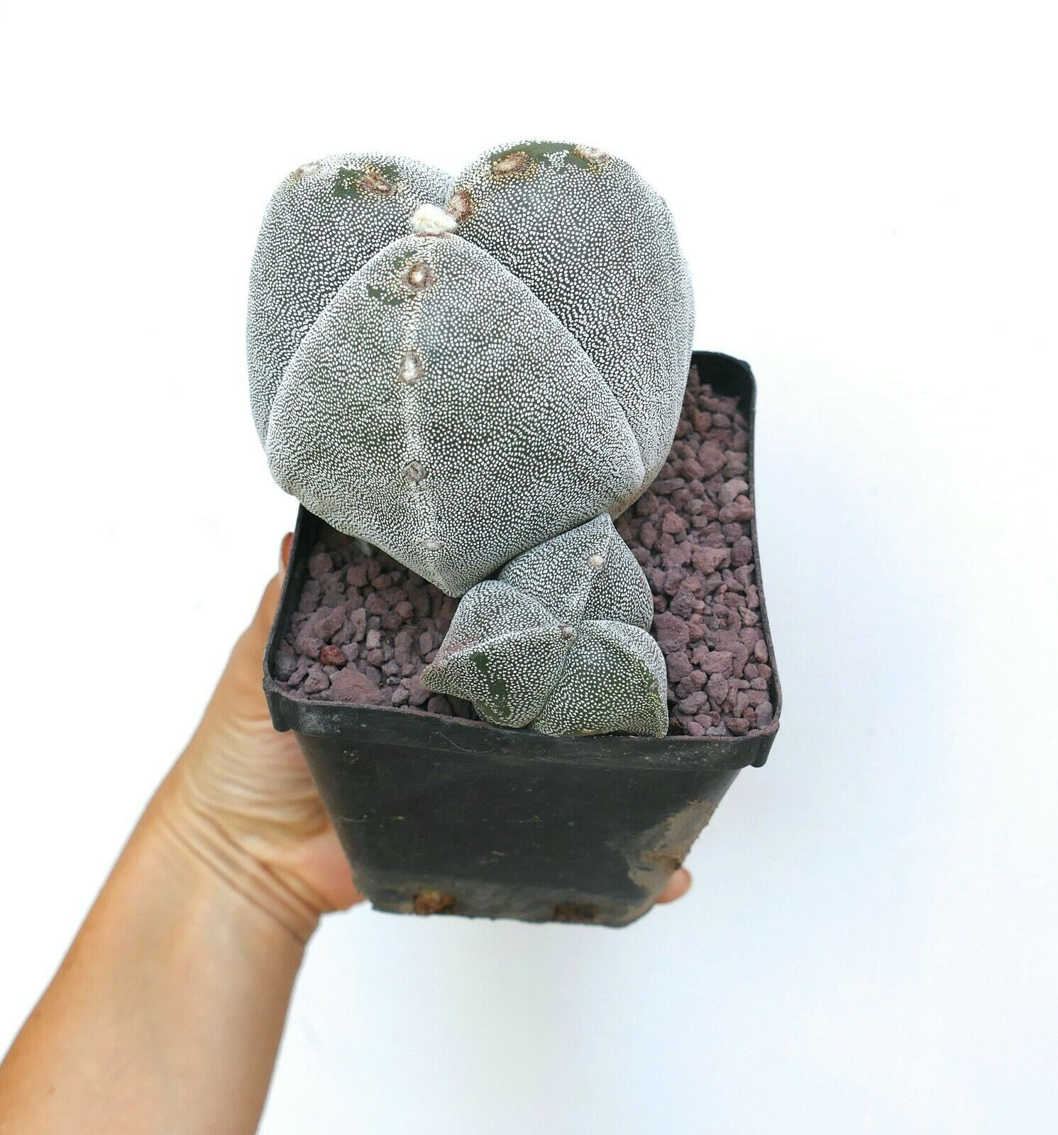 2 PIANTE di Astrophytum tricostatum      H8 own roots NO crested
