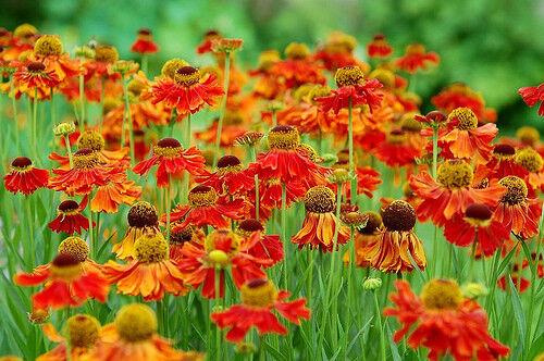 100 x Helenium Autumnale Waltraut Graines été vivace UK grandi Hardy