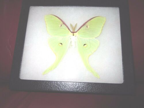 "real saturniidae actias luna moth canada mounted framed 5 x 7"" riker ##4"