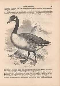 Kanadagans-Canada-goose-Branta-canadensis-HOLZLSTICH-von-1866