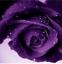 Semillas-rosas-disponible-en-9-tonos-diferentes-10-20-o-30-semillas miniatura 8