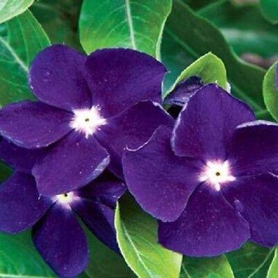 Levendig 40+ Sunstorrm Purple Vinca Periwinkle / Annual Flower Seeds Uitstekend In Kusseneffect