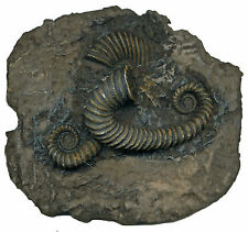 WELL DETAILED TOXACERATIODE sp. AMMONITE