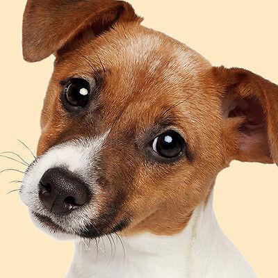 Jack Russell Cachorro Perro Funda De Cojín 16x16 pulgadas 40cm adorable foto tan Blanco Liso