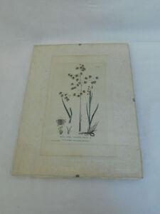 ANTIQUE-BOTANICAL-PRINT-BRIZA-MEDIA-QUAKING-GRASS-1834-BOTANIC-GARDEN-FRAMED