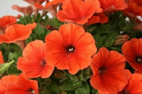 1,000 Pelleted Candypops Orange Pelleted Petunia Seeds BULK SEEDS