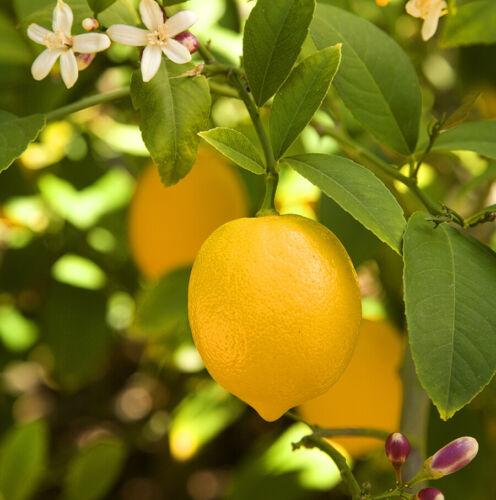 EUREKA Lemon Tree Seeds 10//20 FRESH Seeds 2 Week Harvesting w//Instructions