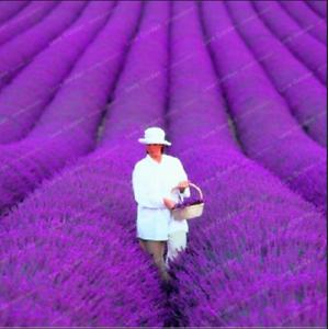 PROVENCE-LAVANDE-100-pieces-Graines-Bonsai-parfumee-Plantes-Fleurs-Jardin-NOUVEAU-N